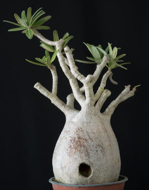 Pachypodium gracilius (7 Seeds) Caudex
