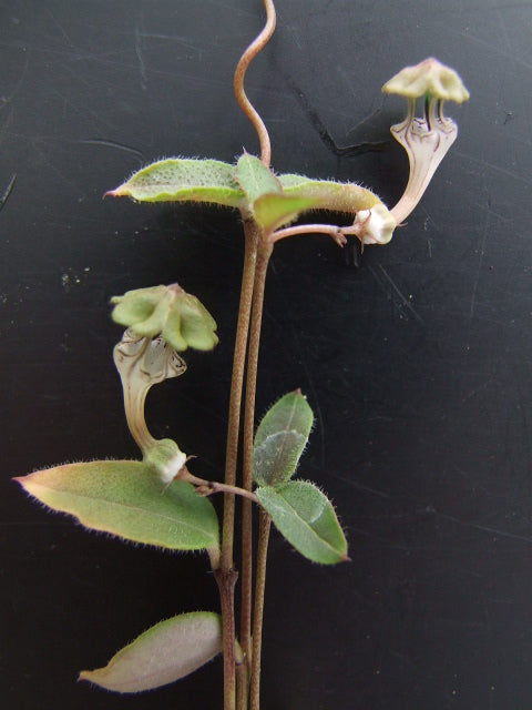 Ceropegia rendallii (10 Seeds)