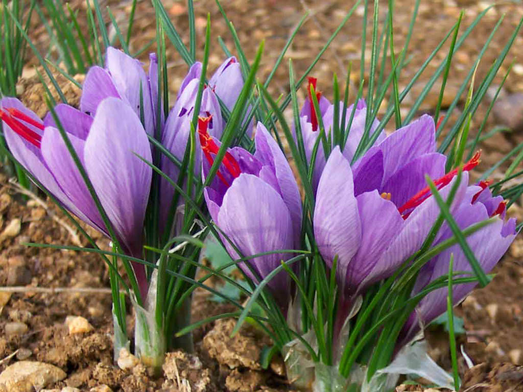 Saffron Crocus 3 bulbs (tubers)