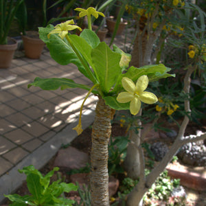 Brighamia insignis (7 Seeds)