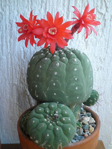 Matucana madisoniorum (25 Seeds) Cacti