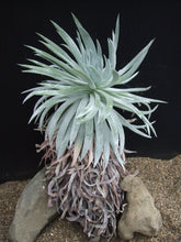 Load image into Gallery viewer, Dudleya candida (20 Seeds)