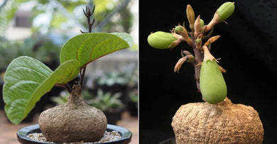 Adenia goetzei (5 Seeds) Caudex アデニア