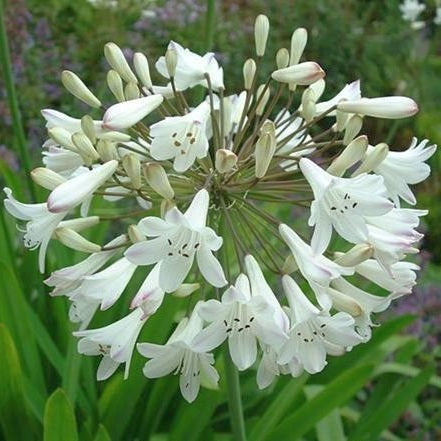 Agapanthus praecox ssp orientalis tall white African lily - common agapanthus - lily of the Nile 5 Pcs Flowers Seeds