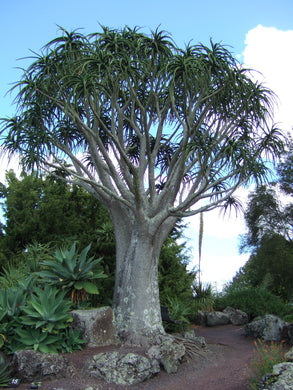 Aloidendron barberae (10 Seeds)