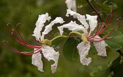 Bauhinia petersiana Large White Bauhinia - wild coffee bean 5 Pcs Flowers Seeds