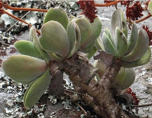 Crassula swaziensis ( 5 Pcs Seeds)