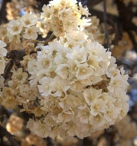 Dombeya rotundifolia Wild Pear 5 Pcs (Tree) Flowers Seeds