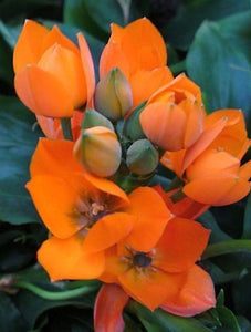 Ornithogalum dubium sun star 5 Pcs Flowers Seeds