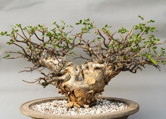Bursera fagaroides (7 Seeds) Caudex