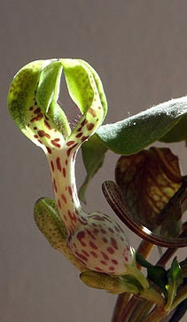 Ceropegia crassifolia ( 7 Pcs Seeds)