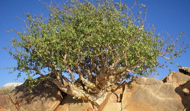 Commiphora myrrha (5 Seeds) Caudex