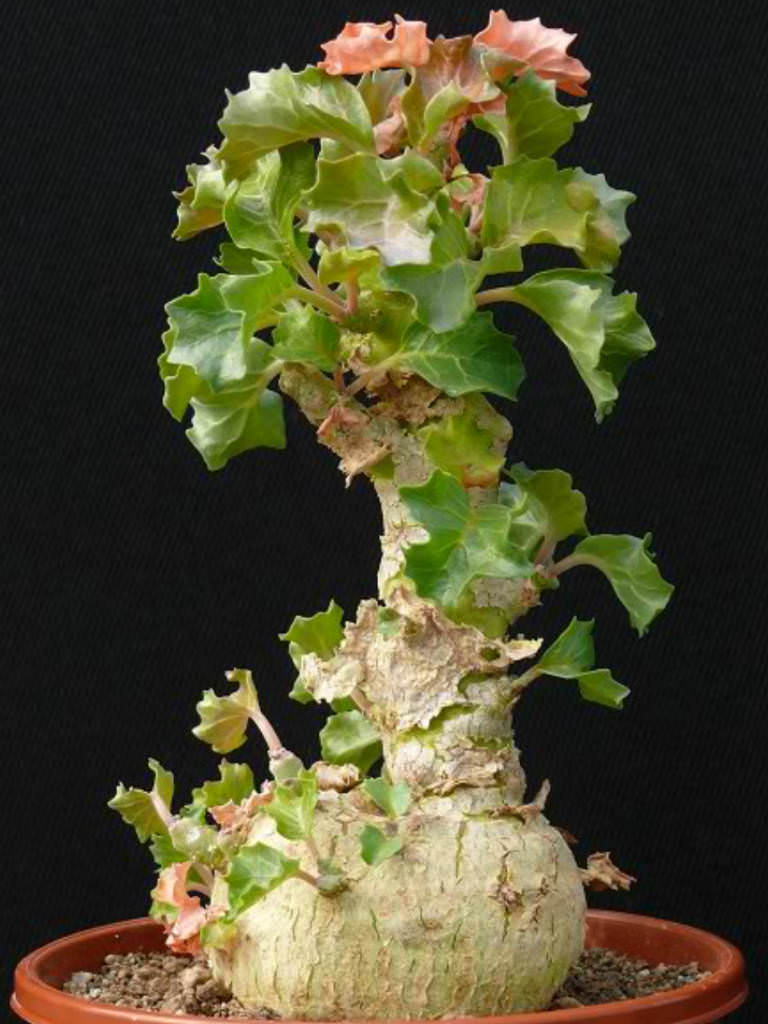Dorstenia gypsophila (7 Seeds) Caudex