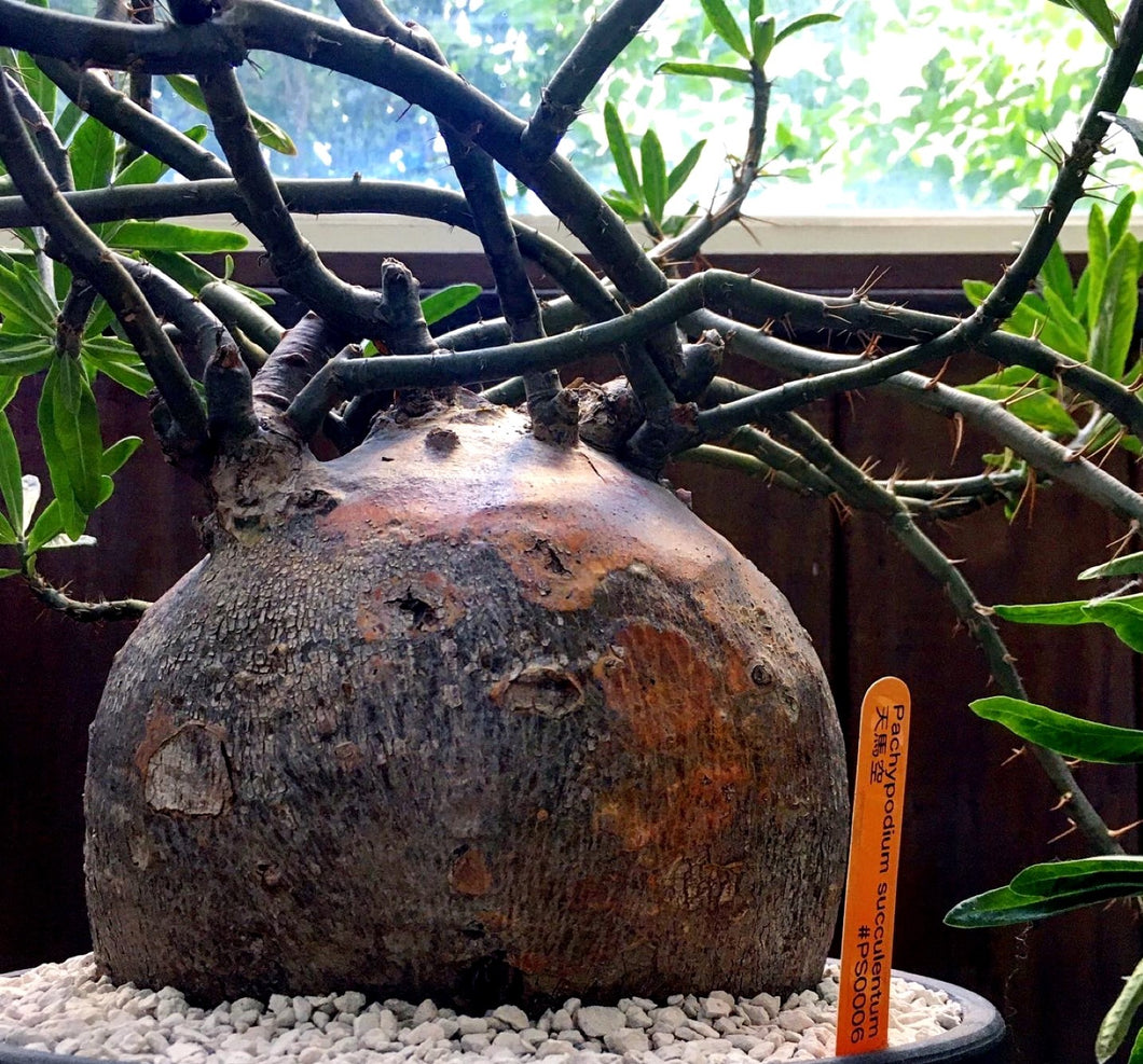 Pachypodium succulentum LIVE PLANT FOR SALE #45910