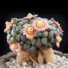 Load image into Gallery viewer, Aloinopsis schooneesii 15 seeds