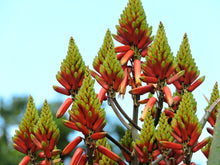 Load image into Gallery viewer, Aloe volkensii (10 Seeds)