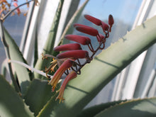 Load image into Gallery viewer, Aloe ballyi (7 Seeds)