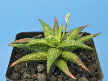 Load image into Gallery viewer, Aloe jucunda (7 Seeds)