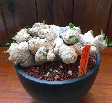 Pachypodium brevicaule LIVE PLANT FOR SALE #46641