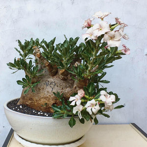 Pachypodium Saundersii LIVE PLANT #609 For Sale