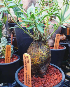 Pachypodium bispinosum LIVE PLANT #711 For Sale