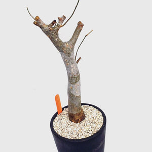 Commiphora sp LIVE PLANT #8991 For Sale