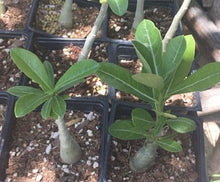 Load image into Gallery viewer, Adenium Nova Tanzania 5 Seeds Caudex