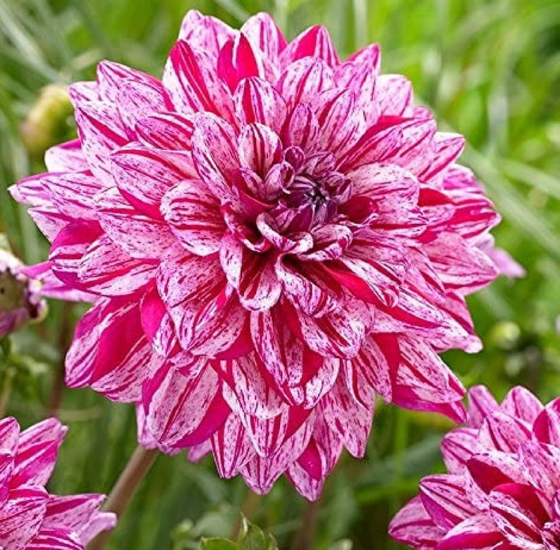 Santander Dahlia 200 Pcs Flowers Seeds