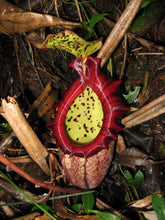 Load image into Gallery viewer, Nepenthes Pitcher Plant  Rajah 5 Pcs Seeds