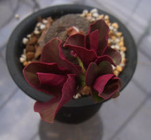 Load image into Gallery viewer, Monadenium globosum (9 Seeds)