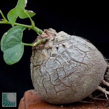 Load image into Gallery viewer, Dioscorea Elephantipes 3 Seeds Caudex