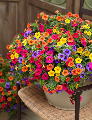 Calibrachoa Mix 100 Pcs Flowers Seeds