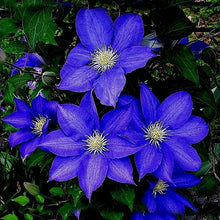 Load image into Gallery viewer, Night Blue Sementes De Flores Flowers Seeds 200 Pcs Clematis