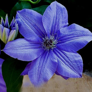 Night Blue Sementes De Flores Flowers Seeds 200 Pcs Clematis
