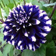 Load image into Gallery viewer, Blue Beard Dahlia 200 Pcs Flowers Seeds