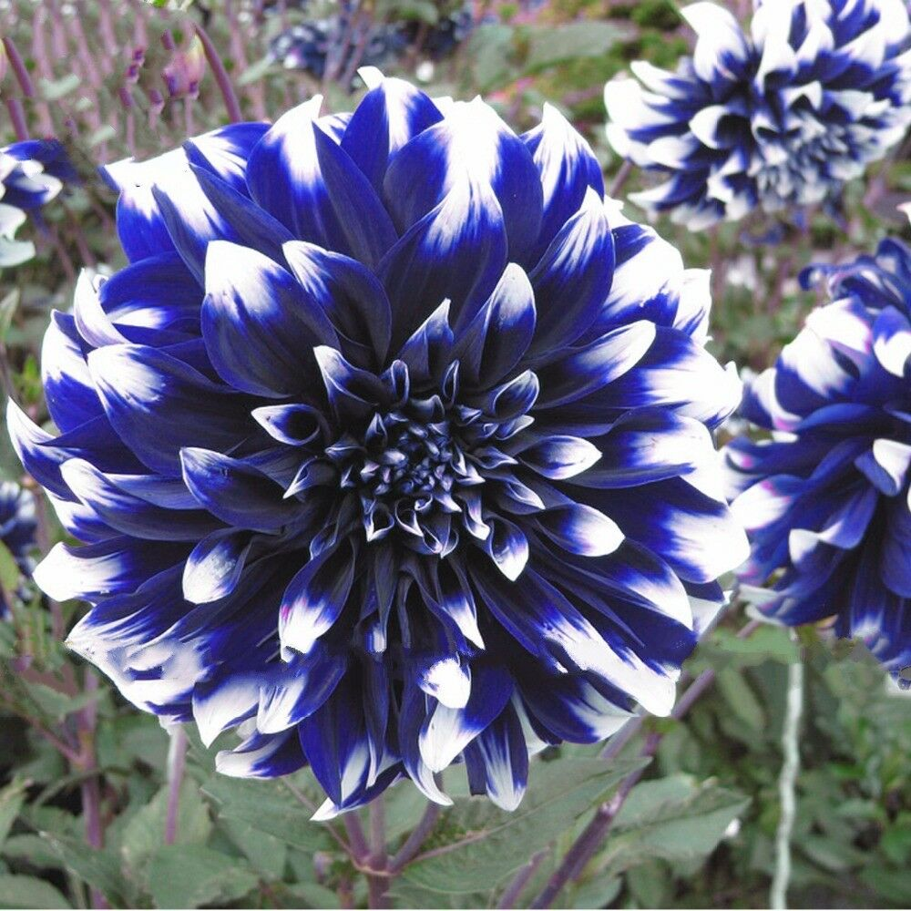 Blue Beard Dahlia 200 Pcs Flowers Seeds