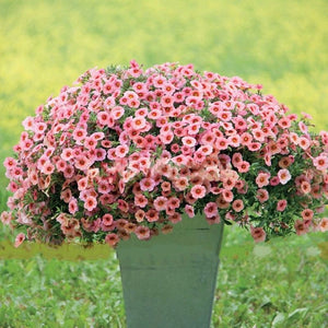 Coral With Eye Calibrachoa 100 Pcs Flowers Seeds