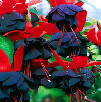 Colorful Fuchsia 130 Pcs Flowers Seeds