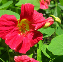Load image into Gallery viewer, Tropaeolum Nasturtium 40 Pcs Flowers Seeds