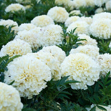 Load image into Gallery viewer, White Marigold 200 Pcs Flowers Seeds