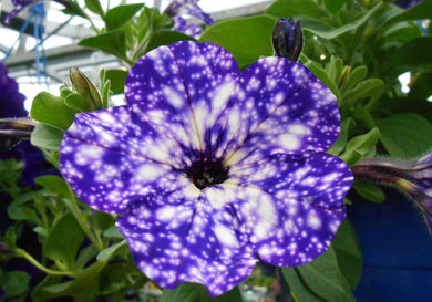 Petunia Night Sky 100 Pcs Flowers Seeds