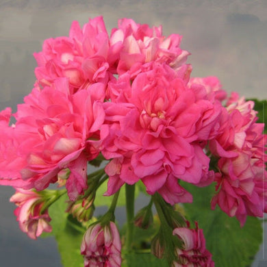 Geranium Rose Pink 'Rosebud' 15 Pcs Flowers Seeds