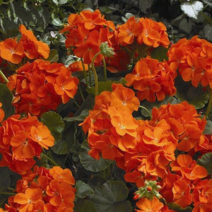 Geranium Maverick Orange 15 Pcs Flowers Seeds