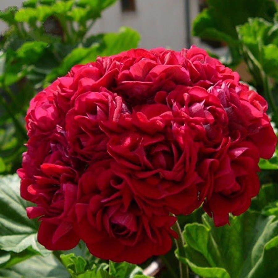 Geranium Dark Red 15 Pcs Flowers Seeds