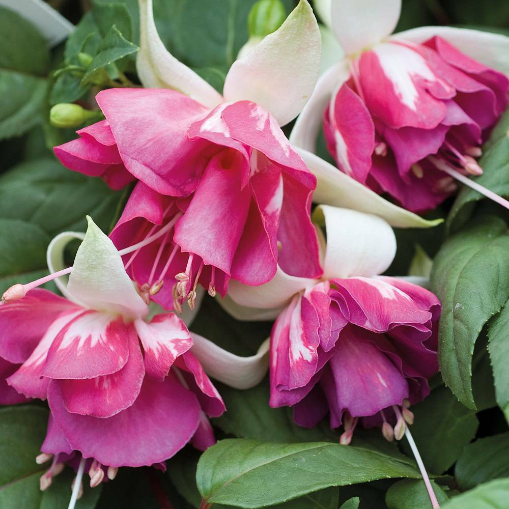 Multicolour Pink Double Petals Fuchsia 150 Flowers Seeds