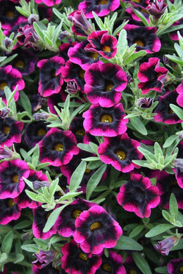 Weird Black Mosaic Petunia Mix 100 Pcs Flowers Seeds