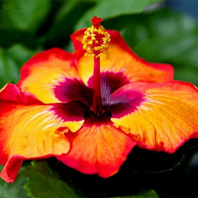 Deep Orange Hibiscus 80 Pcs Flowers Seeds