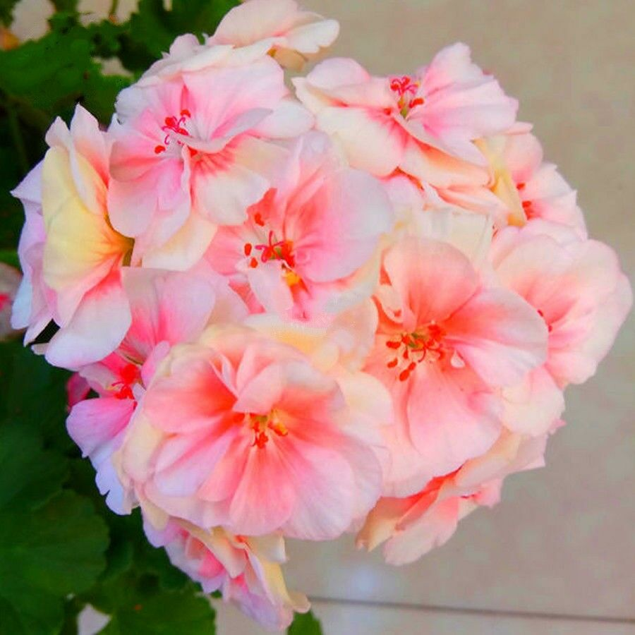 Light Yellowish Geranium 30 Pcs Flowers Seeds