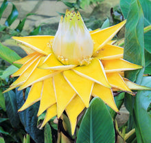 Load image into Gallery viewer, Musella Lasiocarpa - Golden Lotus Banana 50 Pcs Flowers Seeds