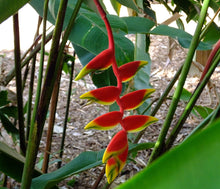 Load image into Gallery viewer, Heliconia Mix 60 Pcs Flowers Seeds